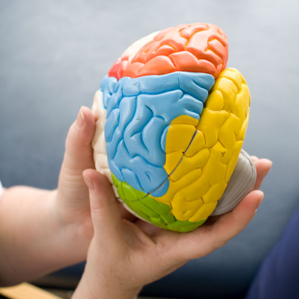 A person holding a model brain